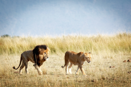 Well-known lion called Scar and a lioness walking through the Masai Mara in Kenya, Africa Stock Photo