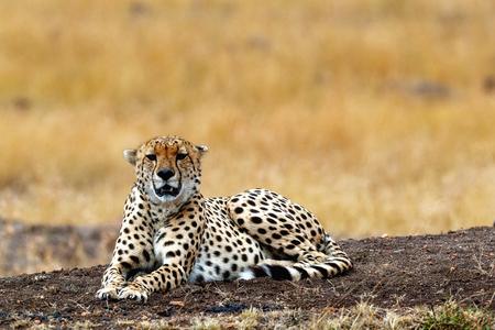 Mooie Cheetah-kat die op een gebied in Kenia, Afrika liggen