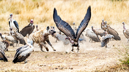 Group of scavengers fighting for a zebra carcass in Kenya, Africa. Hyena is chasing a vulture with wings spread wide
