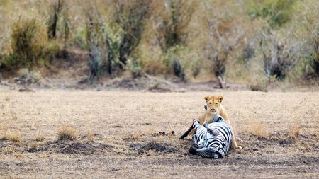 A lioness taking down a zebra in an open plain of the Masai Mara in Kenya, Africa Stock Photo