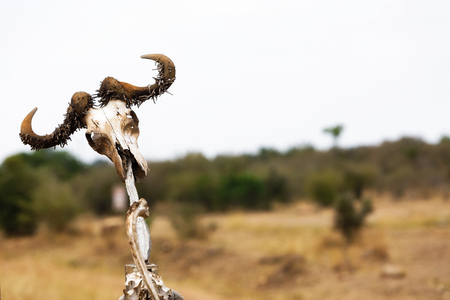 Old Cape Buffalo skull hanging on a fence post in Kenya, Africa with copy space in blurred open field background
