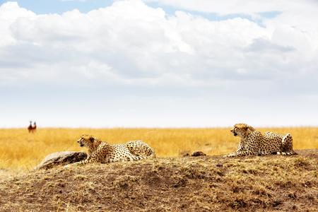 케냐, 아프리카의 마라 삼각형의 들판에 누워있는 치타 2 마리의 고양이 스톡 콘텐츠