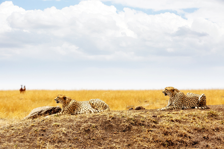 Two Cheetah cats lying down in a field in the Mara Triangle in Kenya, Africa