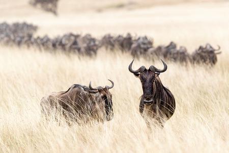 Wildebeest die zich op het lange gebied van het havergras in Masai Mara in Kenia, Afrika met een kudde bevinden die op de achtergrond kruisen Stockfoto