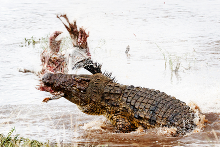Large Nile crocodile spinning out of the water of the Mara River while throwing a carcass in the air 版權商用圖片