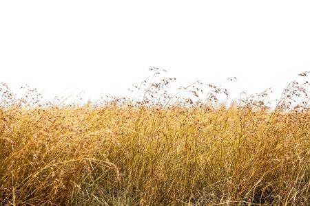 背の高い赤麦草白簡単な抽出分離 写真素材