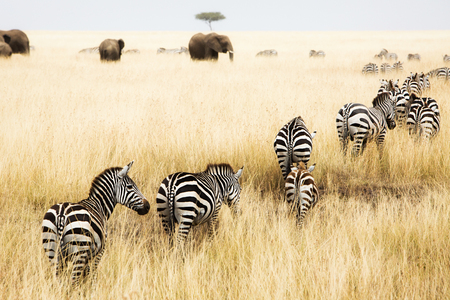 Line of Grevys zebra walking in the tall red oat grass in the Masai Mara in Kenya, Africa