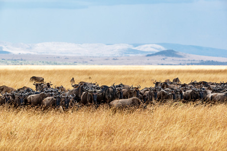 Herd of blue wildebeest grazing in the tall red oat grass in Kenya, Africa with mountains and sky in background. Stock Photo
