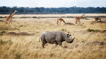 Critically endangered black rhinoceros walking in the grasslands of Kenya, Africa with Masai giraffe in the background Stok Fotoğraf
