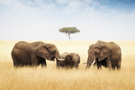 Three elephants in Africa - Two adults and one baby 版權商用圖片