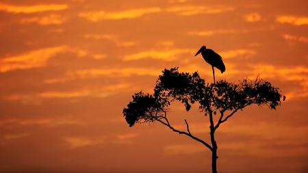 Maribou コウノトリのシルエットは、明るいオレンジ色の空の背景とコピー スペースを持つケニア アフリカのアカシアの木の腰掛け