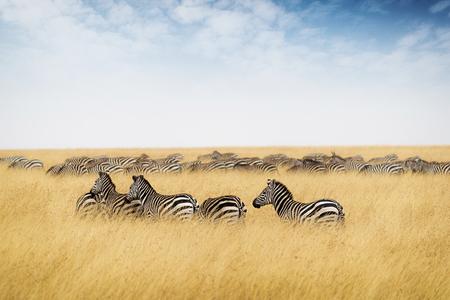 케냐, 아프리카에서 얼룩말의 무리 키가 붉은 귀리 잔디와 푸른 하늘