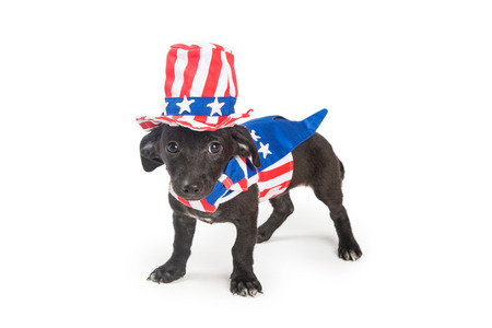 Funny photo of puppy dog wearing American patriotic costume. Isolated on white.