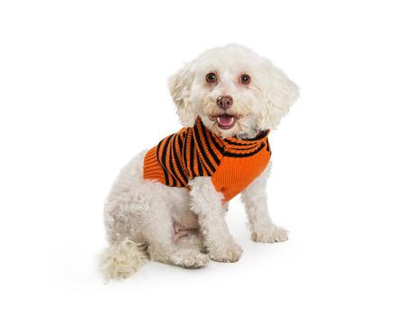 귀여운 작은 품종 흰색 개가 행복 식 오렌지와 블랙 입고 할로윈 스웨터