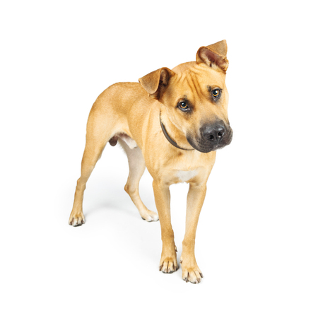 Large mixed breed dog standing on white background looking into camera with attentive expression