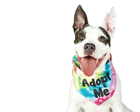 Bull Terrier crossbreed dog with happy expression wearing Adopt Me tie-dye bandana Standard-Bild