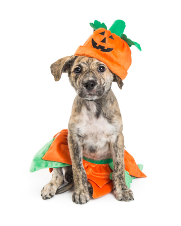 Cute puppy wearing a pumpkin Halloween costume white sitting on a white background Stock Photo - 85971553