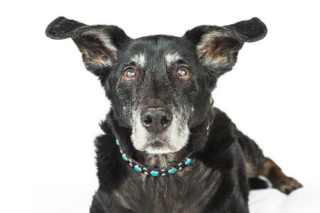 De zwarte grote hond van de close-up oude hogere herder op wit