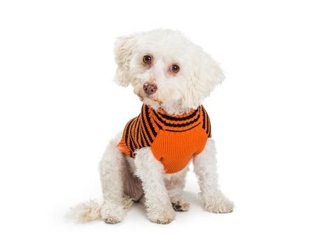 작은 흰색 몰타어 혼합 된 유형 강아지 오렌지와 블랙 할로윈 테마 스웨터를 입고. 흰색으로 격리. 스톡 콘텐츠