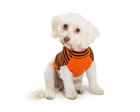 Small white Maltese mixed breed dog wearing an orange and black Halloween themed sweater. Isolated on white.