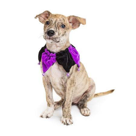 Leuk puppy dat purpere en zwarte narrenkraag draagt