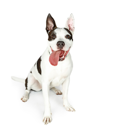 Attentive and happy large bull terrier mixed breed dog sitting on white with tongue hanging out