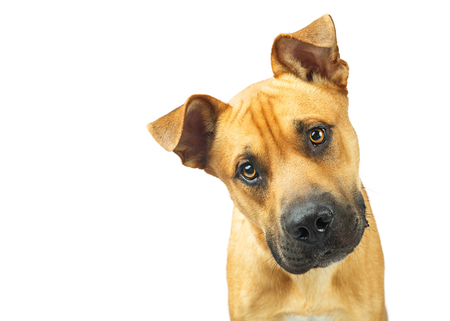 Closeup of large mixed breed yellow dog looking into camera. Isolated on white with copy space.