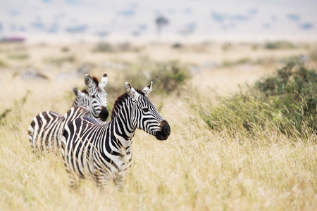 Zebra in grassland plains of Kenya, Africa looking to the side with copy space