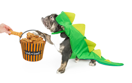Funny photo of a Bulldog breed dog wearing a dinosaur Halloween costume holding a basket while trick-or-treating for biscuits