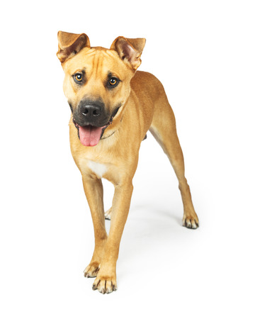 Happy large mixed breed dog with yellow coat standing on a white studio background with mouth open