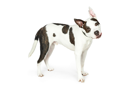 Bull terrier mixed breed dog standing to side on white with attentive expression and tilting head
