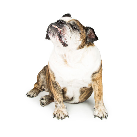 Funny photo of an English Bulldog breed dog on white sticking nose up in the air and eyes closed Stock Photo