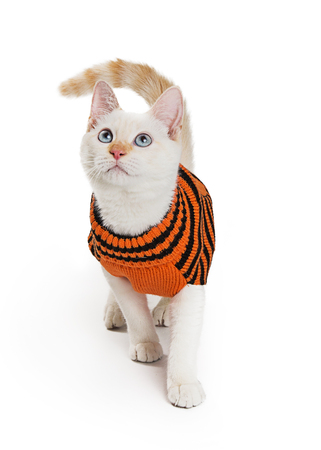 Cat wearing orange and black Halloween sweater, walking on white background and looking up