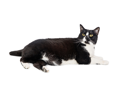 Black and white tuxedo cat lying to side on white Zdjęcie Seryjne
