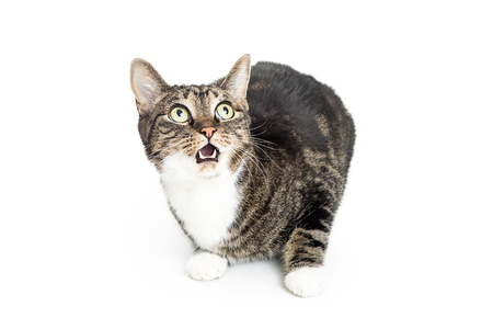 Funny cat on white with surprised expression on face. Mouth open and eyes wide.