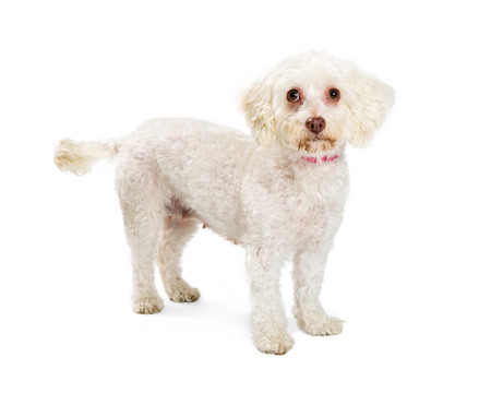 Maltese dog standing on white, looking into camera