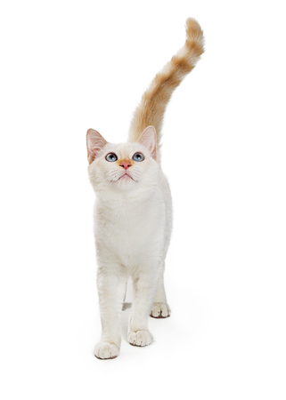 Pretty white cat walking forward while looking up Banco de Imagens
