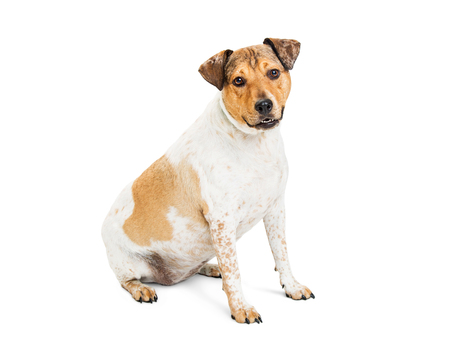 Mixed medium-sized breed dog with brown and white fur sitting on white with happy and friendly expression Stock Photo