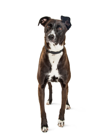 Pretty black and white color mixed Mountain Cur breed dog standing on white background