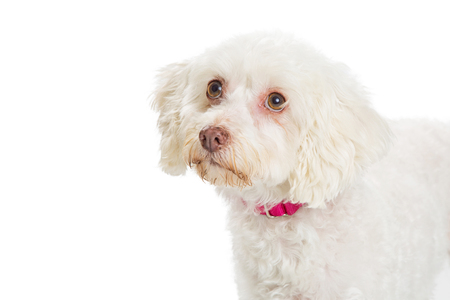 Closeup photo of a white Maltese dog looking up into copy space