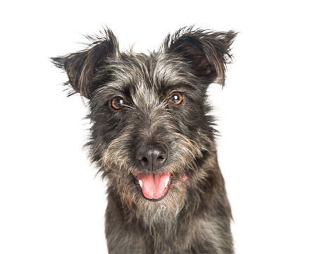 幸せな表情でだらしない灰色テリア犬のポートレート、クローズ アップ