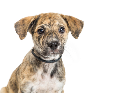 Closeup portrait of mixed breed medium-sized puppy with brindle coat. Isolated on white. Stock Photo