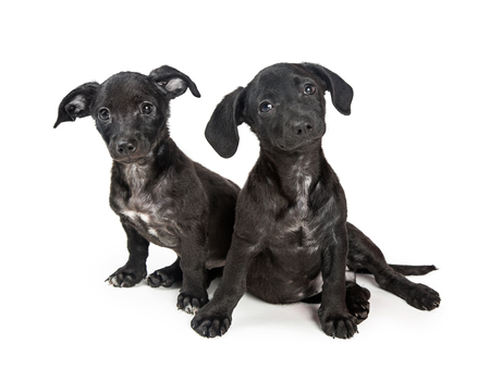 Two cute young small mixed breed puppies sitting on white, looking into camera