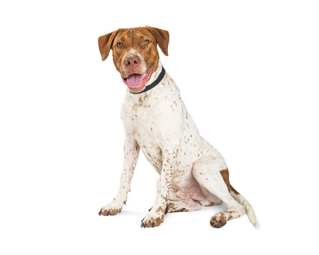 Happy pointer dog siting to the side on white with open mouth and happy expression Reklamní fotografie - 87966272