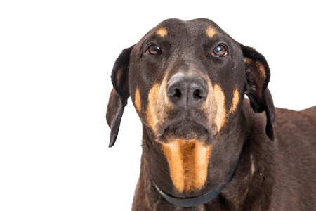 Doberman Pinscher dog with sad expression. Closeup isolated on white.