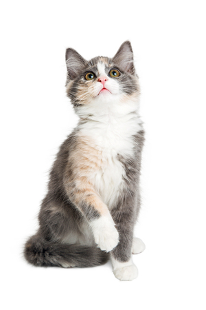 Cute little playful kitten with calico  long-haired coat raising paw and looking up