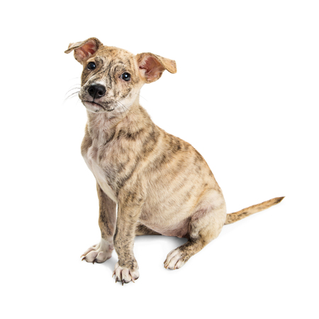 Cute little Brindle coat puppy sitting to side on white Stock Photo
