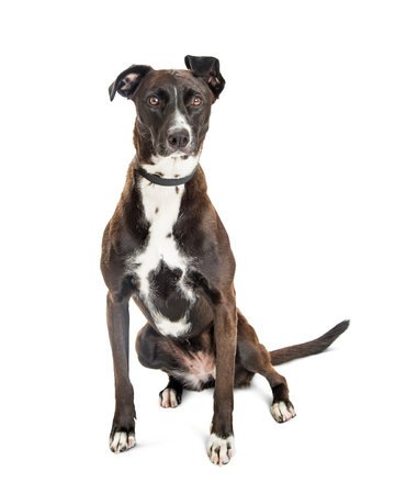 Pretty mixed large breed dog with white and black coat sitting on white background
