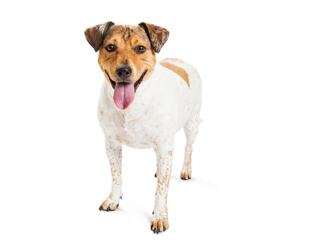 Mixed Heeler breed dog with happy expression and mouth open, standing on white.