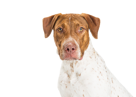 Closeup of Pointer and Pit Bull crossbreed dog over white, looking into camera